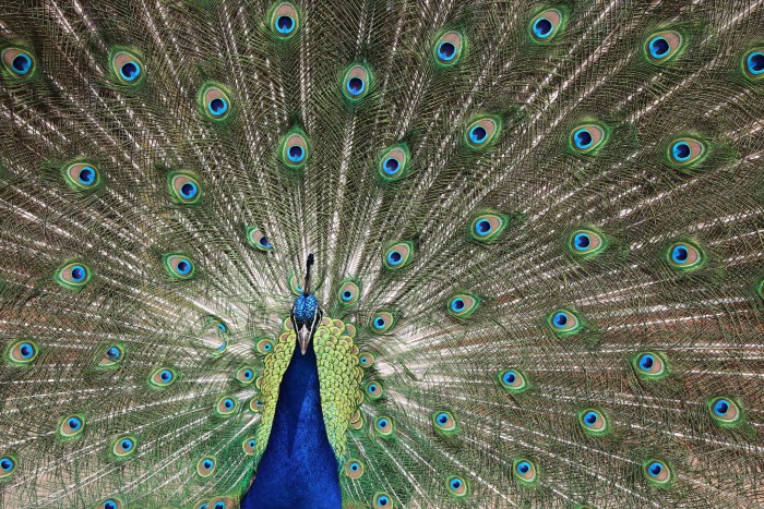 To add to the whimsy, peacocks wander the grounds.