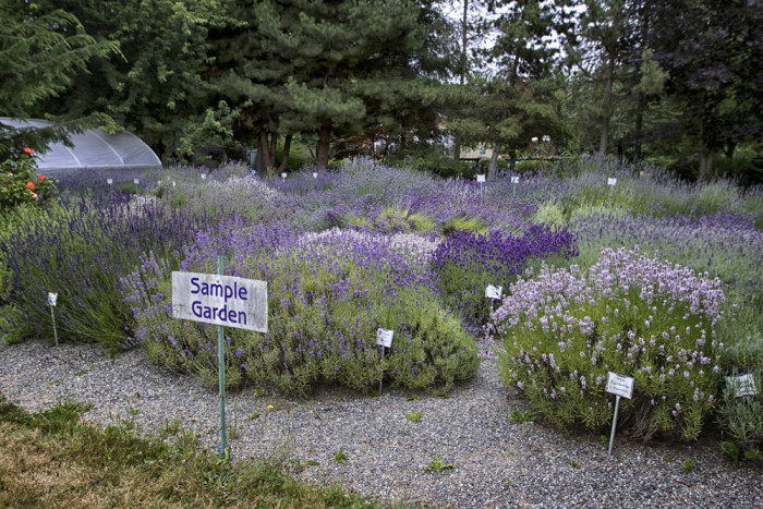 4. Lavender is everywhere, and it's absolutely beautiful (and smells amazing).