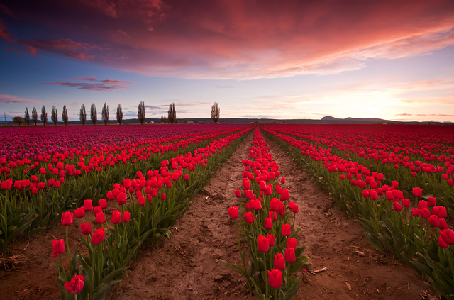 2. A tulip farm in the Skagit Valley at sunset.