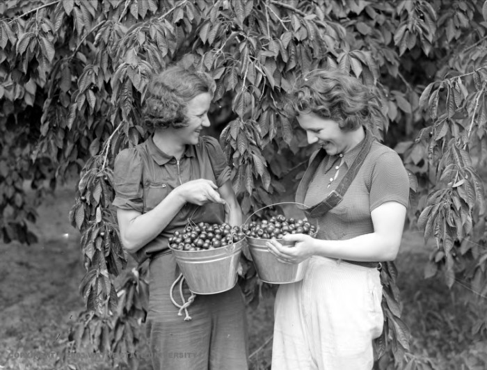 8. Women in Traverse City canning cherries.