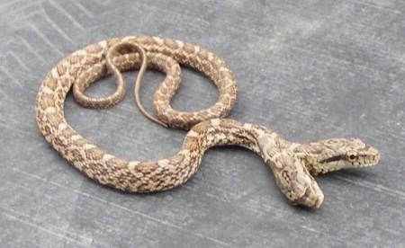 11. Two headed snake. TWO HEADED SNAKE.
