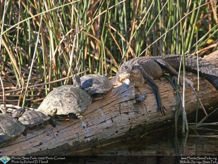 Wakulla-Springs_contest_Richard-Hamell_Alligator-and-turtles-getting-al