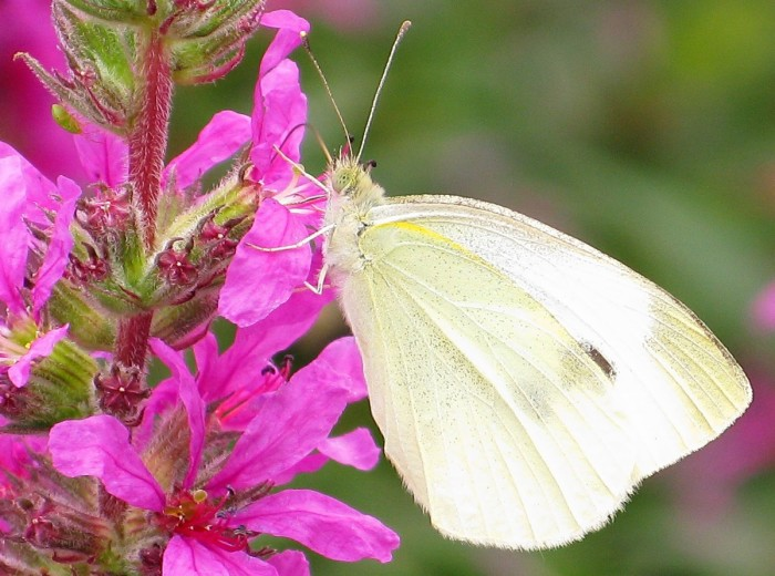 6. Keep your eyes out for white butterflies—if you see one, that means good news is coming your way.