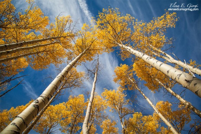 18. The vibrant hue of these aspens epitomizes fall.