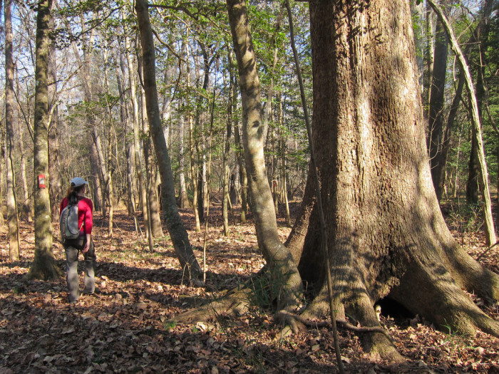 7. These GIANT hardwoods in Congaree National Park in Hopkins, SC.