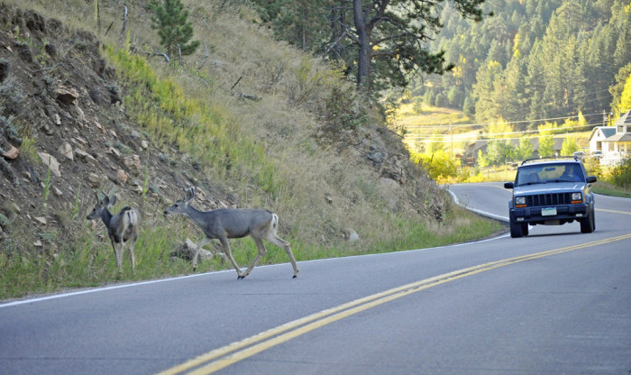 1. Avoiding deer in the road while driving.