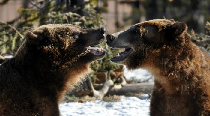 7. Go to the Grizzly and Wolf Discovery Center in West Yellowstone.