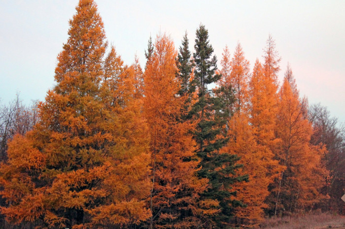 The distinctive features are the tamarac trees which turn a beautiful gold color in the fall.