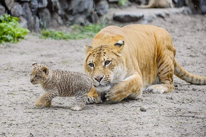 3. Oklahoma was the first home of liliger cubs.