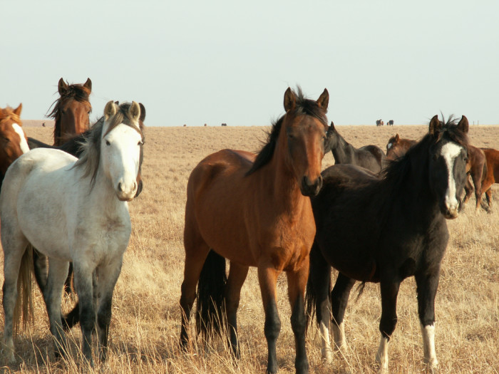 4. Oklahoma has more horses per capita than any other state.