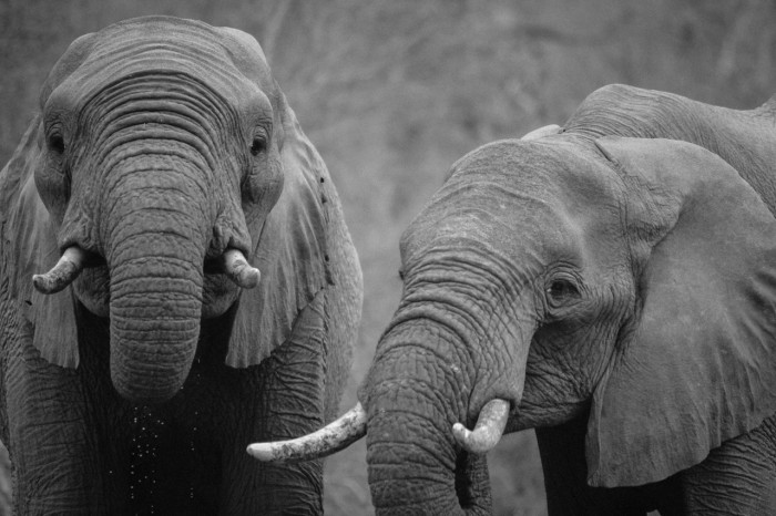 6. Massachusetts has TWO of the Top Ten Worst Zoos for Elephants in North America, according to an international animal protection organization. Buttonwood Zoo ranked 5th worst, and Southwick Zoo came in 10th place.
