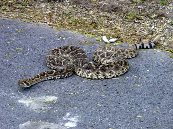 2. Rattlesnakes
