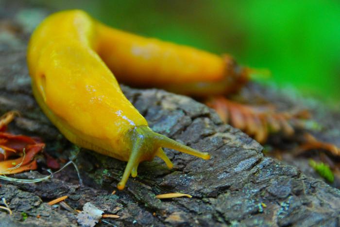 3. Banana Slug