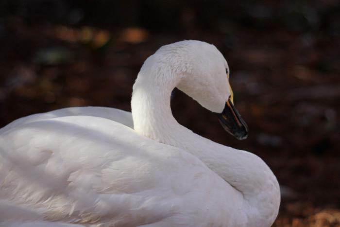 11. Swan Lake & Iris Gardens - Sumter, SC