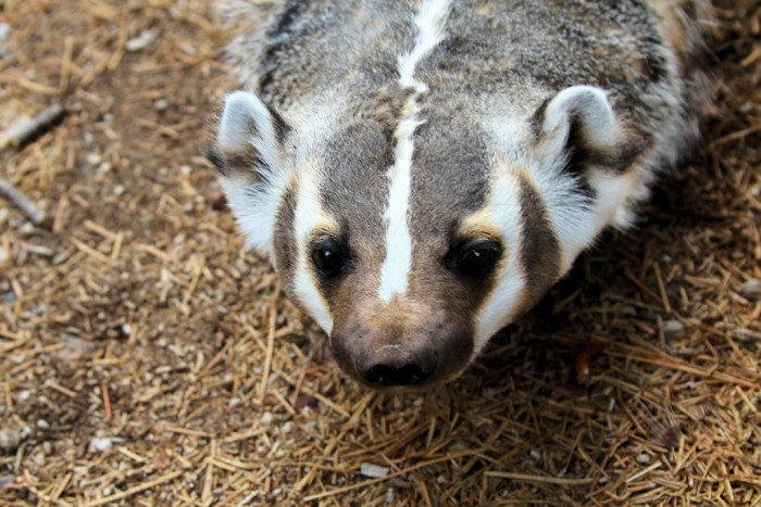 """7. """"Badgers"""" became a thing not so much because of the animal, but because miners who settled Wisconsin would burrow into hills, resembling the creatures."""