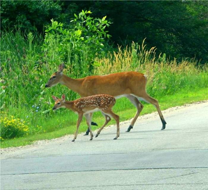 6. Avoiding hitting deer.
