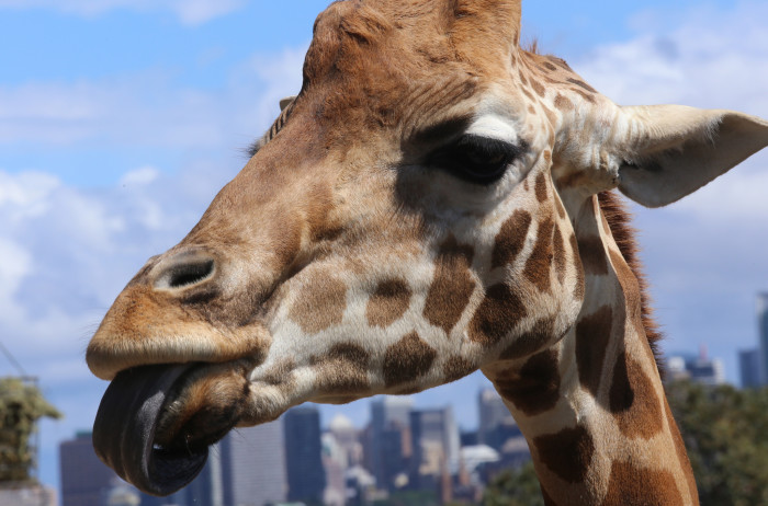 10. In Atlanta, it is a against the law to tie a giraffe to a telephone pole or street lamp.