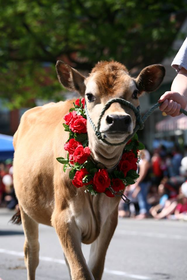 2.  Strolling of the Heifers - June 3-5, Brattleboro