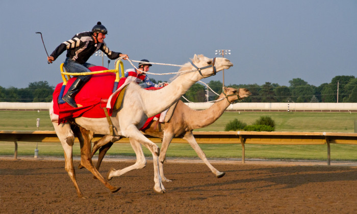 12. Cheer on the underdog at a camel race at Prairie Meadows Racetrack in Altoona.