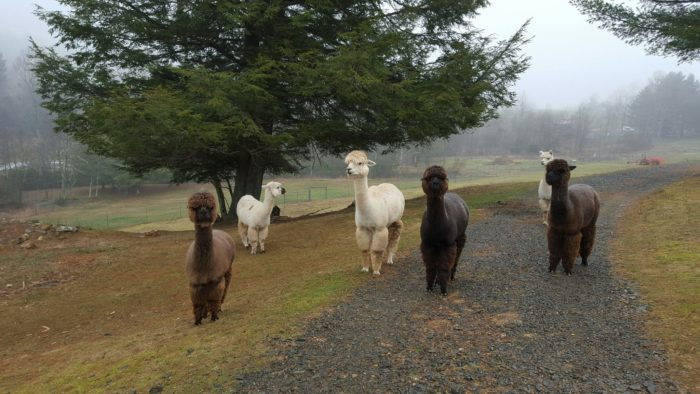 Get to know the locals at an adorable nearby alpaca farm.