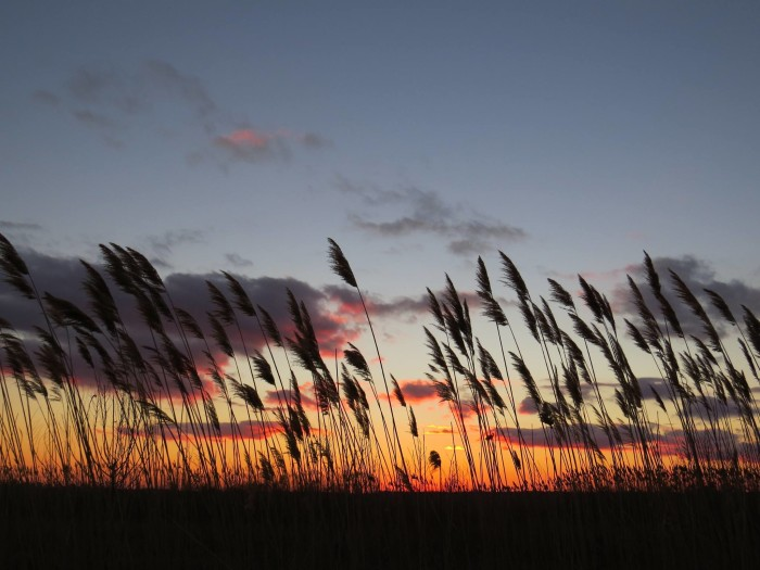8. Sunsets even make the phragmites in Port Penn look beautiful silhouetted against the sky.