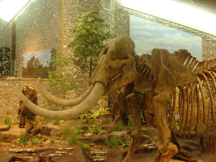 13.A mastodon skeleton on display in the museum at the Mastodon State Historical Site in Imperial