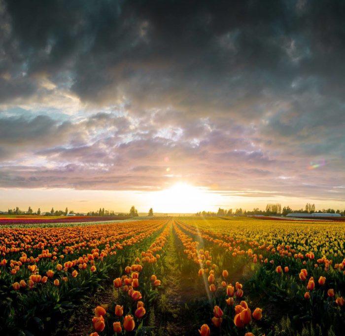 1. Skagit Valley Tulip Fields, Washington