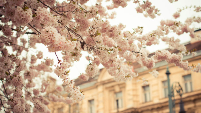 """Did you know that Macon is known as the """"Cherry Blossom Capital of the World""""?"""