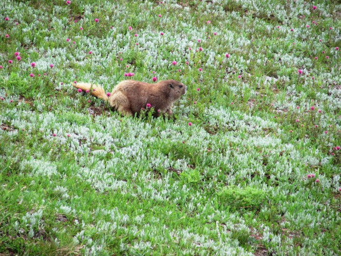 11. Olympic Marmots can't be found anywhere else in the world.