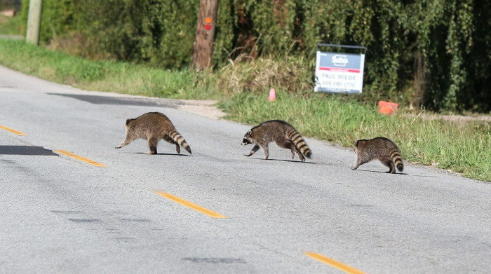 2. The constant danger of critters crossing the road.
