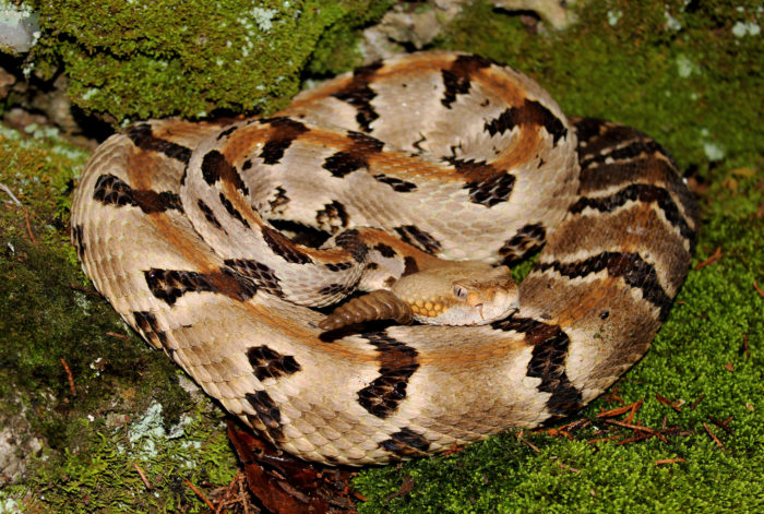 That's right, venomous timber rattlesnakes are moving into the Quabbin Reservoir neighborhood. And not just a handful of them...oh no. These snakes will be placed on the island specifically to breed and multiply.