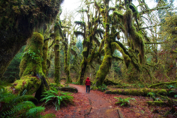 8. The Hoh Rainforest gets nearly 140-170 inches of precipitation every year.