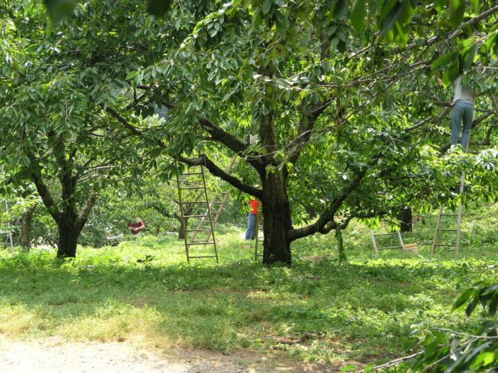 Engage in some good ole fashion fruit picking at Levering Orchard.