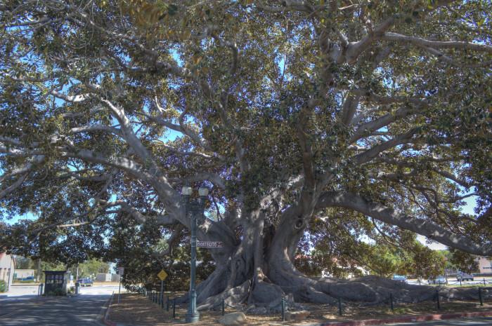 3. Moreton Bay Fig Tree in Santa Barbara
