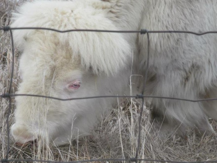 2. The beautiful and very rare albino buffalo, White Cloud, is almost completely deaf and blind.