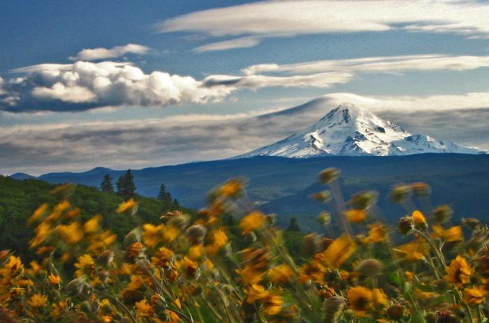 11. The gorgeous peak of Mount Hood, seen from a wildflower field.