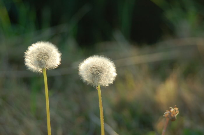 10. (In Pueblo) Residents may not let dandelions grow in their yard.