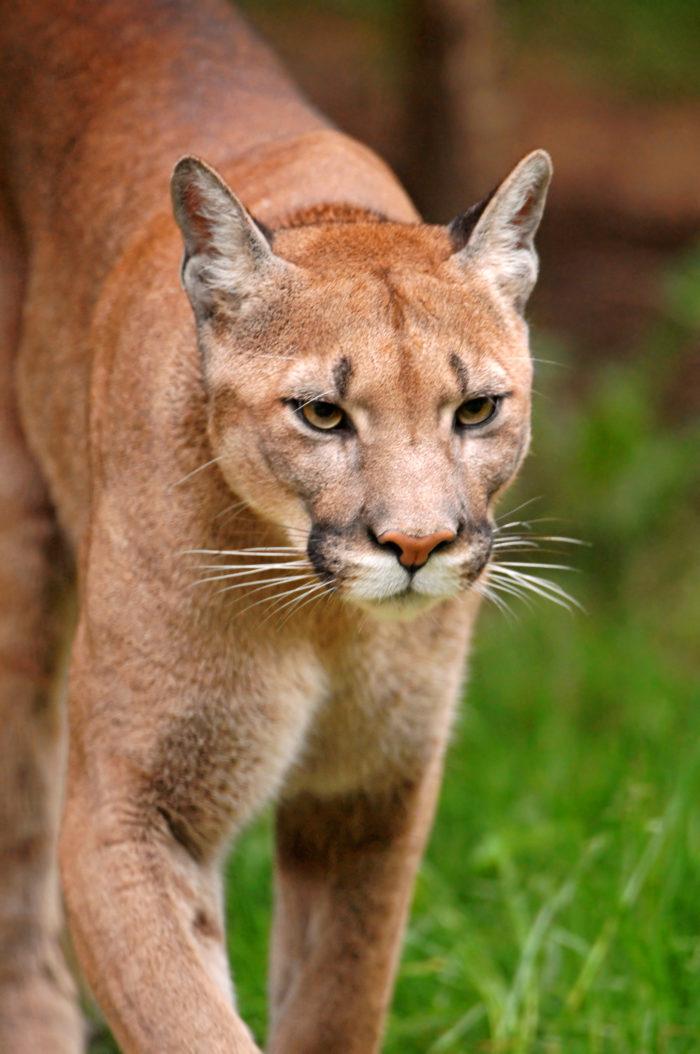 1. The extinct Eastern mountain lion