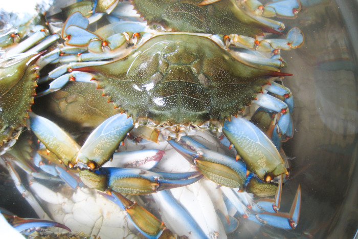 1. Maryland Blue Crabs