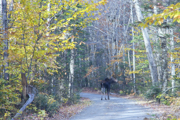 15. See a moose at Baxter State Park.