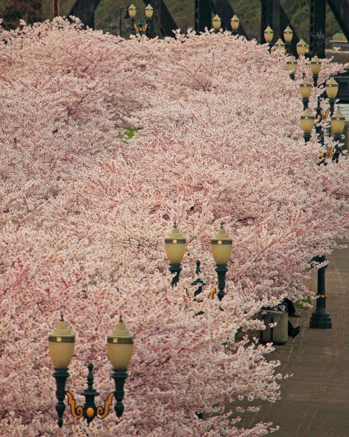 4. Springtime cherry blossoms on the Portland waterfront.