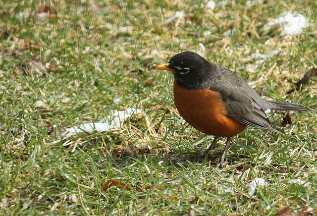 9. We look for the first robin in spring.