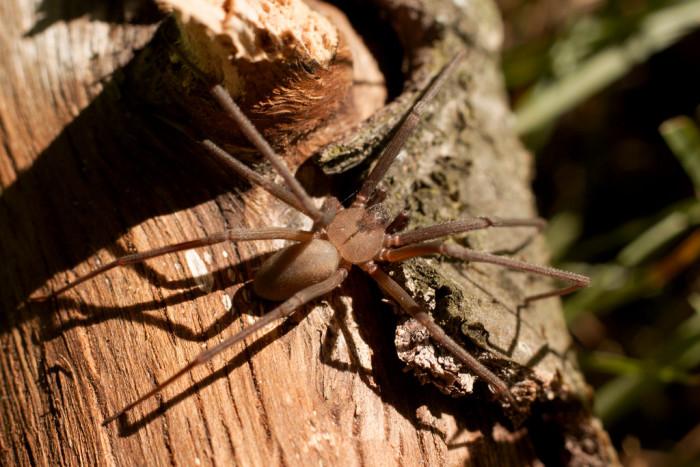 3. Brown Recluse Spider