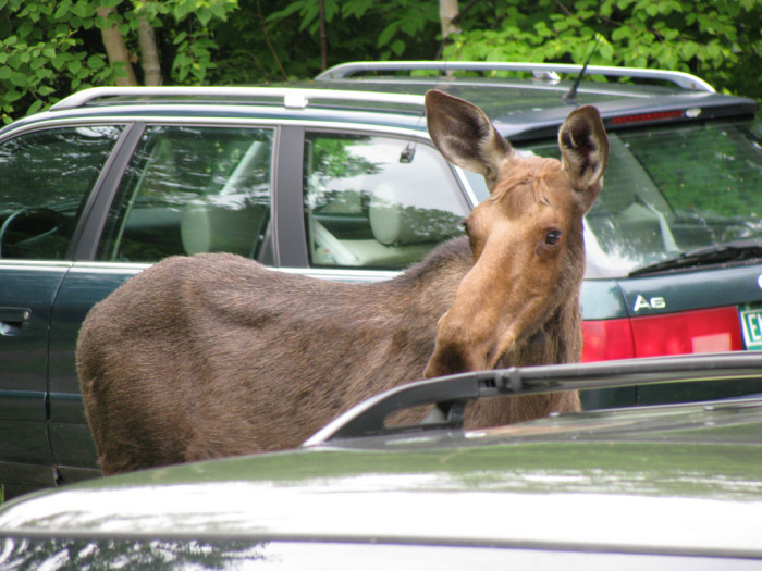 7.  They ask where they can see moose.