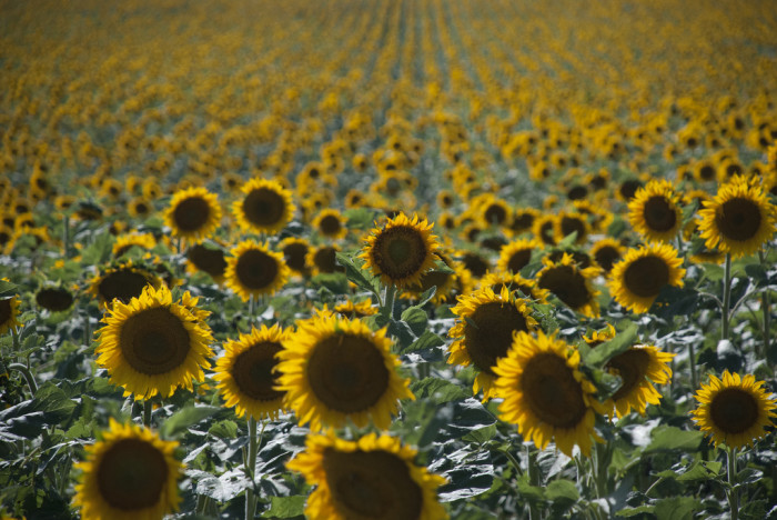 5. ... And sunflowers...