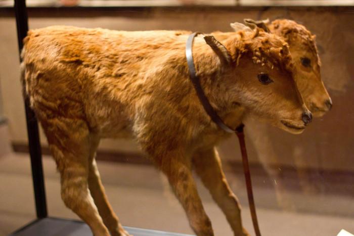 4. Two-Headed Calf