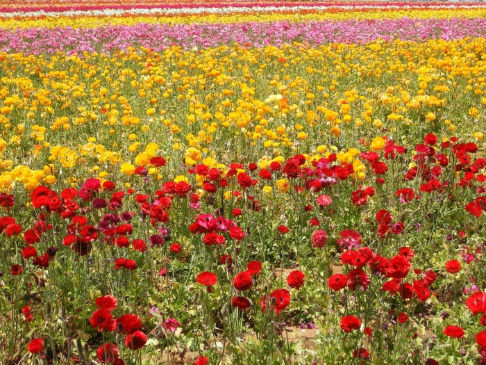 10. The vibrant wildflower fields in Carlsbad will instantly lift your spirit.