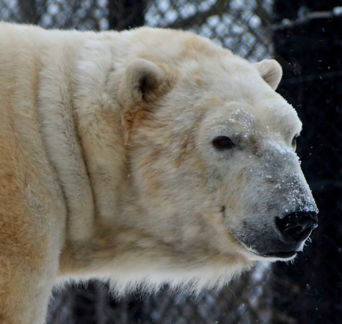 3. The zoo is in Polar Bears International's network of Arctic Ambassador Centers and have sent teens to Churchill, Manitoba to see polar bears in their natural habitat as a part of Polar Bears International's Leadership Camp.