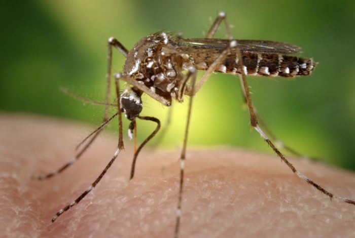 11. Mosquitoes
