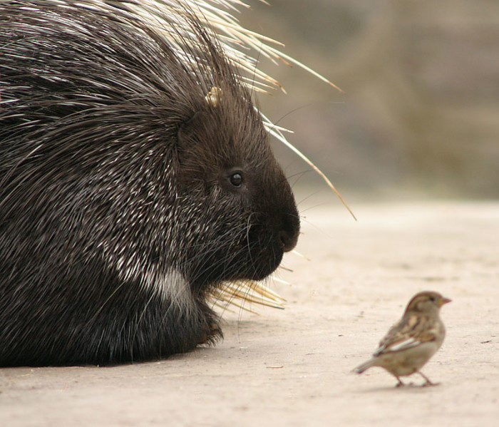 12. It is illegal to have sexual relations with a porcupine.
